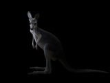 Kangaroo Standing in the Dark with Spotlight Photographic Print by Anan Kaewkhammul