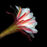Blooming Single Cactus Flower Isolated Against Black Background Photographic Print by Christian Slanec