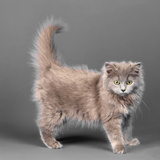Long Haired Blue Grey Kitten Photographic Print by Chris Vun