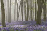 Woodland Filled with Bluebells on a Misty Spring Morning Near Micheldever in Hampshire Photographic Print by Richard Thomas