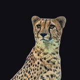 Portrait of Cheetah Sitting, Vector Illustration Photographic Print by Jan Fidler