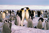 Emperor Penguin Rookery with Chicks Antarctica Photographic Print by Bob Roberts