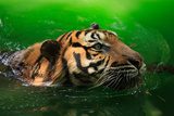 Bengal Tiger Panthera Tigris Tigris Swimming in the Lake Photographic Print by Sharkawi Che Din