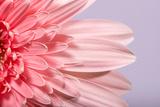 Pink Gerbera Flower Blossom Photographic Print by Deyan Georgiev