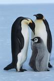 Antarctica, Weddel Sea, Atka Bay, Emperor Penguin Family Photographic Print by Craig Robinson