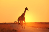 Giraffe in Savannah Photographic Print by  Kamchatka