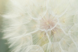 Close Up of a Dandelion Photographic Print by Arno Enzerink