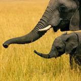 Elephant, Kenya Photographic Print by Eric Lafforgue