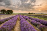 Alton Lavender Farm, Hampshire, Uk Photographic Print by Chris Button