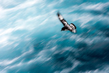 Cape Petrel - Pintado Petrel in Flight South Georgia Papier Photo par Renato Granieri
