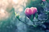 Pink Magnolia Blossom Fotografie-Druck von Inguna Plume