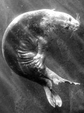 A Sea Lion Underwater with Sunlight Streaming Through Photographic Print by Don Mennig