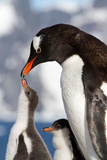 Female Gentoo Penguins and Chicks During Feeding Photographic Print by Dmytro Pylypenko