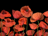 California Red Poppies Isolated Against Black Background Photographic Print by Christian Slanec