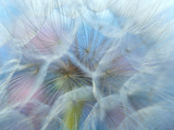 Dandelion (Tragopogon Dubius), Ontario Photographic Print by Chris Cheadle
