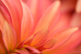 Close Up of Petals Orange Dahlia Flower Summer Garden Photographic Print by Ann Cutting