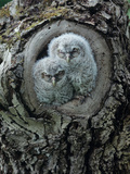 Two Owlets in Tree Knot Photographic Print by  moodboard
