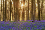 Sunlight Bursting Through Trees Just after Dawn in Beech Woodland Full of Bluebells Photographic Print by  Rtimages