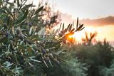 Olive Trees on Sunset. Sun Rays Photographic Print by Deyan Georgiev
