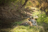 Royal Bengal Tiger Photographic Print by Janette Hill