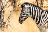 Burchell's Zebra in the Dry Grass, Etosha National Park, Namibia Photographic Print by Klaus-Peter Wolf