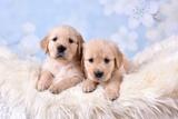 2 Golden Retriever Puppies Photographic Print by Ramona Richter