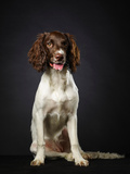 Working English Springer Spaniel Puppy, Six Month Old, Studio Shot Photographic Print by Jari Hindström