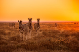 A Herd of Zebra Grazing at Sunrise in Etosha, Namibia Photographic Print by Udo Kieslich
