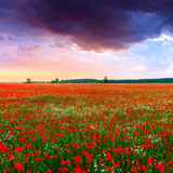 Poppies Field at Sunset in Summer in Hungary Photographic Print by Fesus Robert