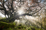 Sunlight Streaming Through the Misty Trees at Wistman's Wood, Dartmoor Photographic Print by Helen Dixon