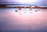 Flamingo Photographic Print by  Kamchatka