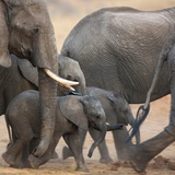 Close Up of Baby Elephants Walking in the Midst of a Breeding Herd on the Move Photographic Print by Bernie Olbrich
