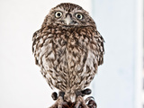 Europaeischer Steinkauz, Athene Noctua, Little Owl Photographic Print by Rainer Drexel