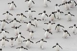 Never Alone and Always in Hurry: Rockhopper Penguins First Have to Cross Sand Flat Photographic Print by Solvin Zankl