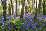 Sunlight Shining Between the Trees and Lighting Up the Bluebells on the Woodland Floor Photographic Print by Helen Dixon
