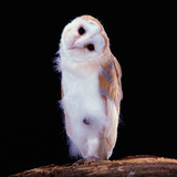 Barn Owl Photographic Print by Joerg Wegner