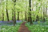 Pathway Through Bluebells and Wild Garlic Photographic Print by Helen Dixon