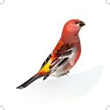 Red Bird, Pine Grosbeak Papier Photo par Anna Bayalova