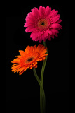 Pink, Orange Gerbera with Stem Isolated on Black Photographic Print by Hanna Slavinska