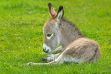 Domestic Donkey (Equus Asinus Asinus), Foal Rests in a Meadow, Germany, North Rhine-Westphalia Photographic Print by Torsten Schroeer