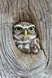 Head Shot of Little Owl Looking Through Knot Hole. Taken at Barn Owl Centre of Gloucestershire Stampa fotografica di Paul Bradley