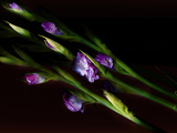 Close-Up of Purple Flowering Plant at Night Photographic Print by Adam Kuylenstierna