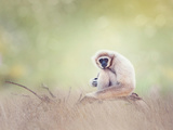 Portrait of White-Handed Gibbon(Hylobates Lar) Sitting on a Branch Photographic Print by Svetlana Foote