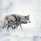 Two Wolves Walking in the Snow Photographic Print by Svetlana Foote