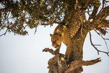 Leopard Climbing Down Tree in Dappled Sunlight Photographic Print by Nick Dale