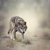 Gray Wolf Walking Photographic Print by Paul Watzlaw