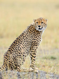 Wild African Cheetah, Beautiful Mammal Animal. Africa, Kenya Photographic Print by Volodymyr Burdiak