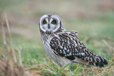 Short-Eared Owl (Asio Flammeus), East Frisia, Lower Saxony, Germany Photographic Print by Klaus-Peter Wolf