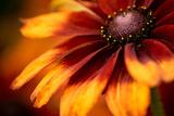 Close-Up of Orange Dahlia Blooming Outdoors Photographic Print by Adam Kuylenstierna