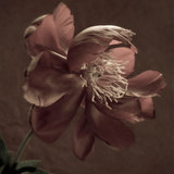 Paeonia, Peony Photographic Print by Paul Seheult